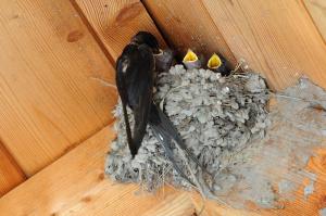 Ob Sonnenschein oder Regenwetter: Die Kleinen sind immer hungrig (Rauchschwalbe - Hirundo rustica)