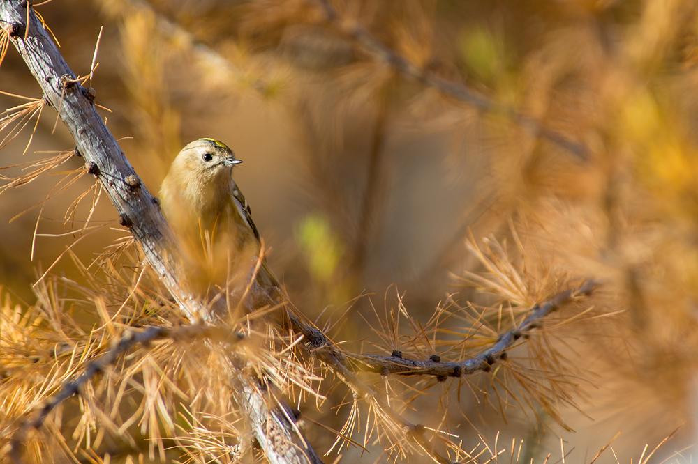 Was passt besser zum Goldenen Oktober als ein Wintergoldhähnchen? Aufnahme vom 24.10.2012 im Wallis auf 1800 m Höhe