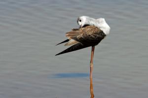 Das frische Jugendgefieder braucht intensive Pflege: Stelzenläufer, frisch flügger Jungvogel