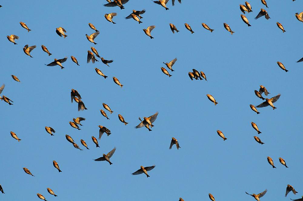 """Dann hiess es: """"Kopf runter!"""" Zumindest glaubte man dies im ersten Augenblick. Aber ein paar Meter Respektdistanz hielten die Vögel gegenüber den Beobachtern dann doch ein. Kurz vor Sonnenuntergang begann ein etwa einstündiger Formationsflug, dem sich immer mehr Bergfinken aus allen Himmelsrichtungen anschlossen."""