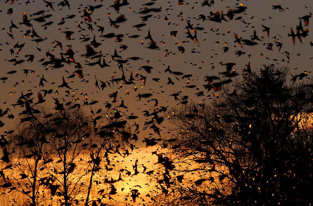 Das Licht der untergehenden Sonne bricht sich im Gefieder der Bergfinken und lässt diese in allen denkbaren Farben aufblitzen. Für das menschliche Auge in Realzeit durch das schnelle Gewusel im Schwarm nicht sichtbar - erst die extrem kurze Verschlusszeit macht es möglich.