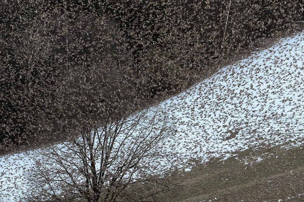 Bergfinken kreisen in der Dämmerung in mehreren Verbänden um ihren Schlafplatz, bevor sie sich wie auf Kommando im Wald niederlassen.