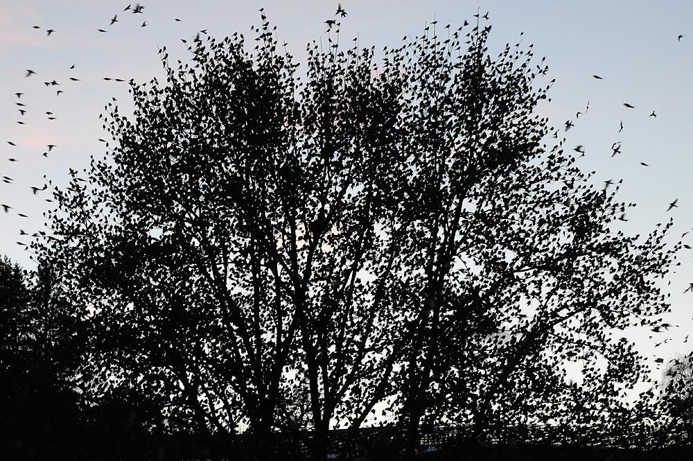 Kein freies Zweiglein mehr. Aber das war sowieso nur ein Zwischenstopp, während der grösste Teil des Schwarms immer noch in der Luft herumsurrte. Kurz vor Einbruch der Dunkelheit leerte sich dieser Baum dann innert weniger Sekunden und die Bergfinken liessen sich wie auf Kommando im nahe gelegenen Wald zur Ruhe nieder.