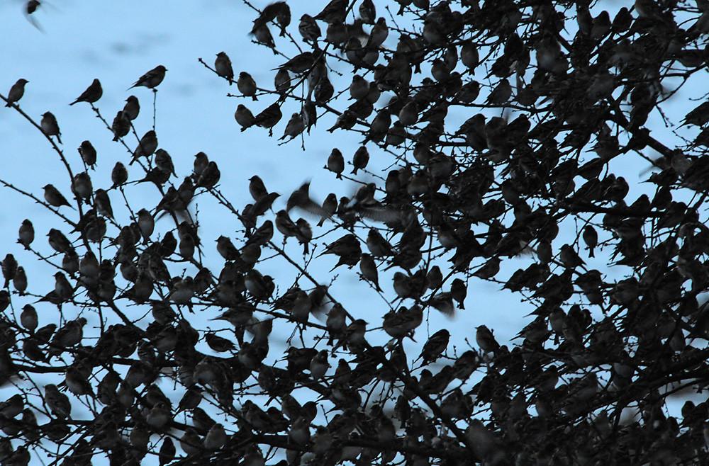 Kein freies Zweiglein mehr. Die Vögel machen sich mit ihrer Körperwärme ihr eigenes Mikroklima. Am Schlafplatz wurden nachts um zwei Grad höhere Temperaturen gemessen als in der Umgebung.