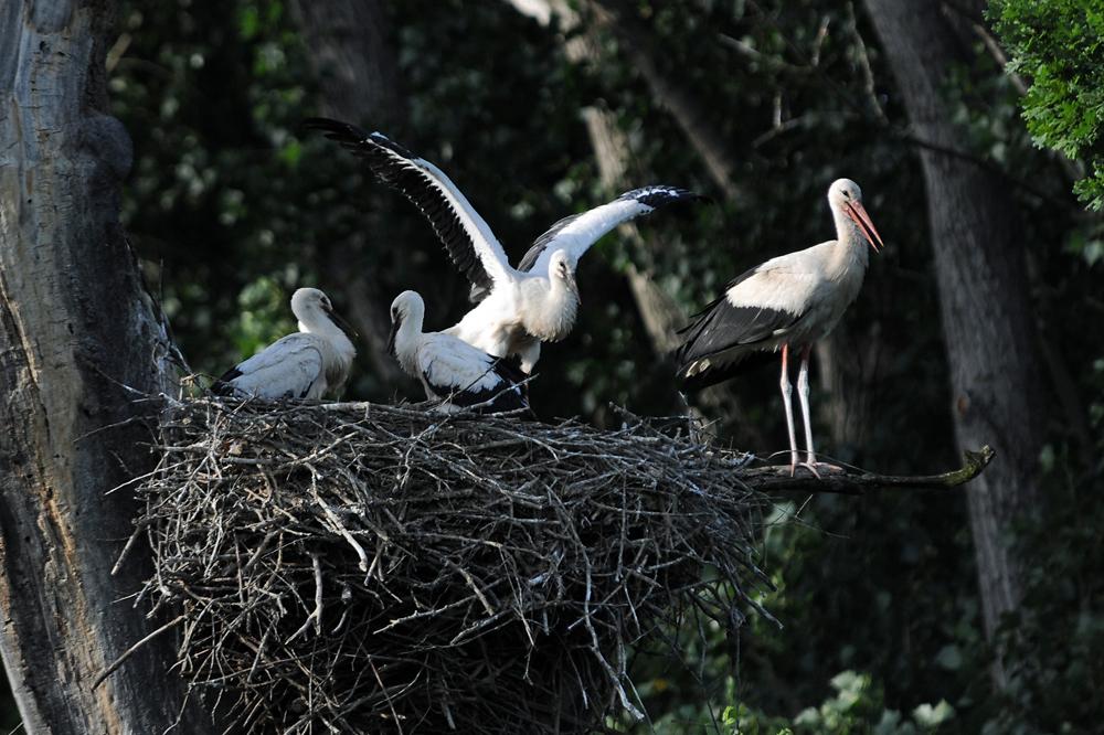 Für Weissstörche ist eine ausgeglichene Witterung im Juni wichtig: Nasse Kälte ist für die Jungvögel genau so gefährlich wie Nahrungsmangel durch Hitze und Trockenheit