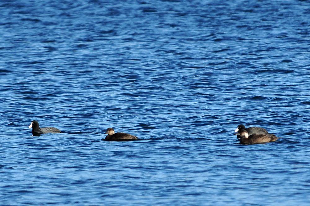 Seltene Wintergäste im Binnenland unter den Wasservögeln fühlen sich bei uns wohl, solange die Gewässer nicht zufrieren (Trauerenten auf der Neuen Donau in Wien am 26.12.2009)