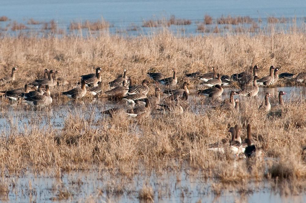 Hält sich das Wetter an die Prognose, fühlen sich Gänse in diesem Monat auch an Binnengewässern wohl. Gemischter Bläss-, Grau- und Saatganstrupp im Nationalpark Neusiedler See - Seewinkel, 10. Februar 2011