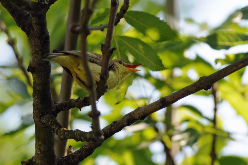 Im Juli wird das Vogelkonzert bereits deutlich leiser, doch der Gelbspötter schweigt noch lange nicht (14. Juli 2009 im Laaer Becken, Niederösterreich)