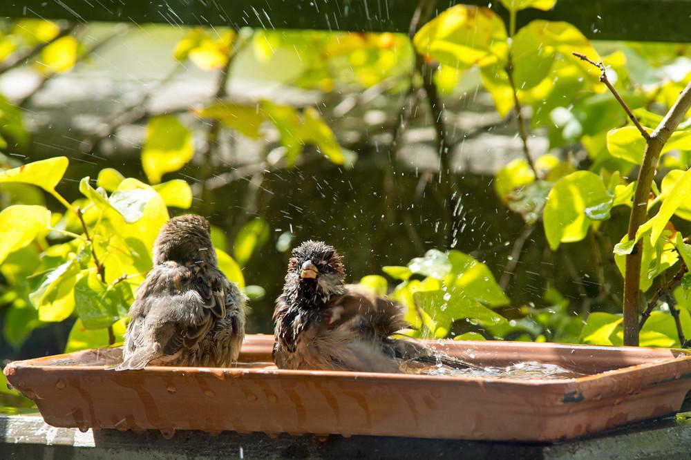 Auch im September kann es noch so heiss werden, dass an den Vogeltränken mitunter Dichtestress aufkommt (Bern, 16.09.2015)