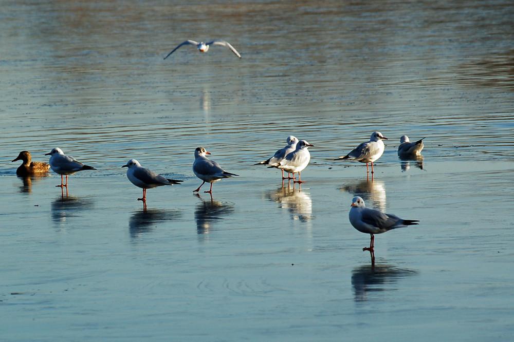 Leichtgewichte können schon bald wieder übers Wasser gehen... (Lachmöwen am Wienerbergteich, 28.11.2007)